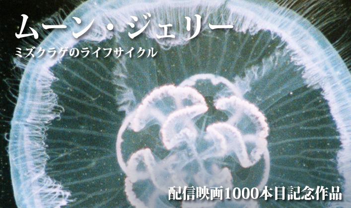 ムーン・ジェリー ミズクラゲのライフサイクル(フルHD)